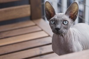 chat race pure sphynx
