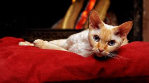 race pure chat devon rex