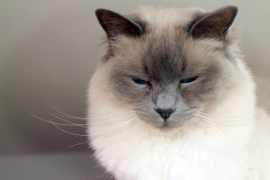 race pure chat birman
